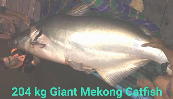 204 kg Catfish at New Bungsamran