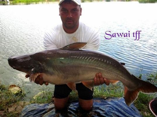 Striped Catfish / Silver Catfish / Pla Sawai / Pangasius hypophthalmus / catch by Thailand-Fishing.