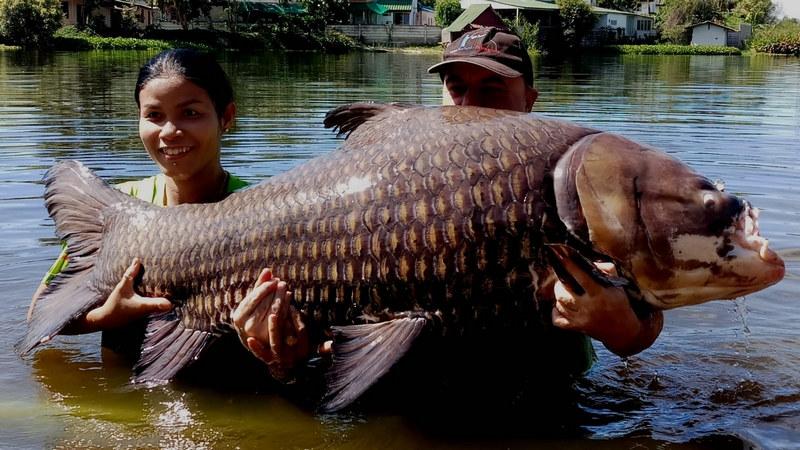Giant Siam Carp fishing