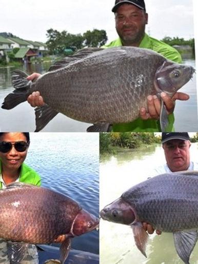 Black Sharkminnow / Pla Ka / Labeo Chrysophekadion / catch by Thailand-Fishing.