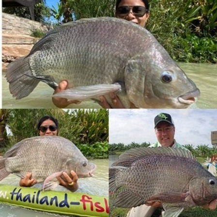 Giant Tilapia / Pla Nin / Oreochromis Niloticus / catch by Thailand-Fishing.