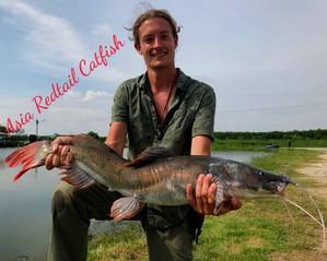 Asian redtail catfish