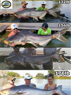 Many Giant Mekong Catfish catch by Thailand-Fishing.