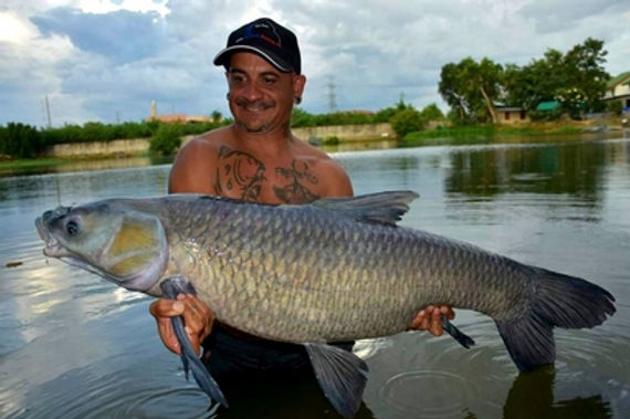Chinese Black Carp / Pla Tjin Dam / Mylopharyngodon Pieceus catch by Thailand - Fishing