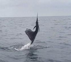 Sailfish-Action-Fishing.