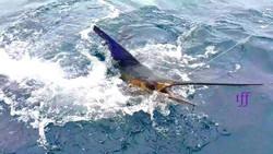 Sailfish fight.