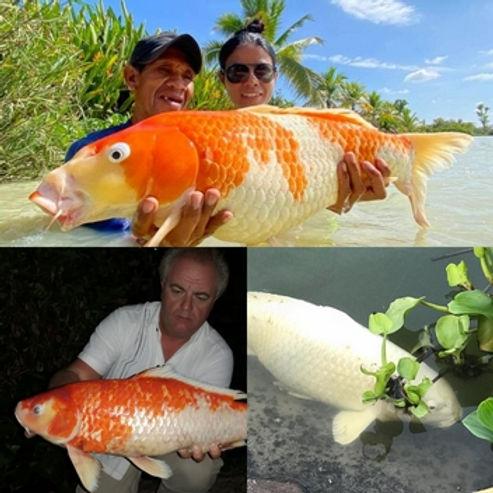 Koi Carp / Pla Koi / Cyprinus Carpio / catch by Thailand-Fishing.