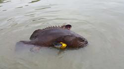 Malaysia Grouper