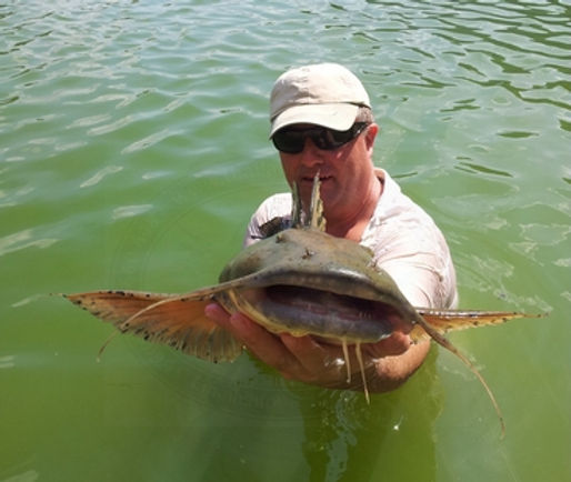 Goonch Catfish / Indian Catfish / Giant Devil Catfish / Pla Kaey / Bagarius Yarrelli / catch by Thailand-Fishing.