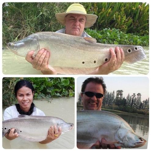 Clown Featherback / Pla Klaey / Chitala Chitala / catch by Thailand-Fishing.