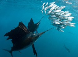 Sailfish on the hunt Malaysia Action Fis