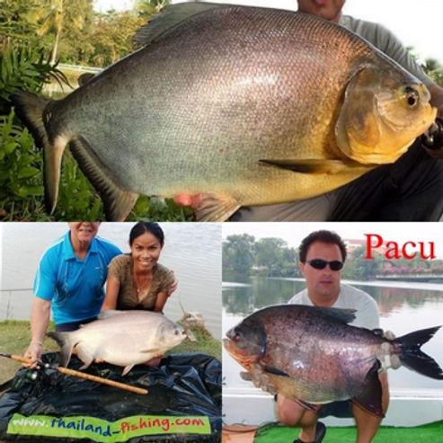 Pacu - Piractus Brachypomus / Colossama spp. / Pla Pacu / Characidae - Characins / catch by Thailand-Fishing.