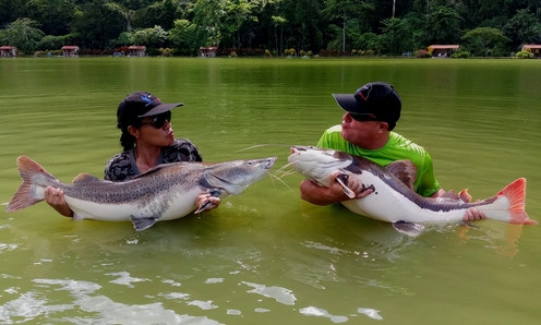 Tiger and Amazon Catfish catch by Thailand-Fishing.