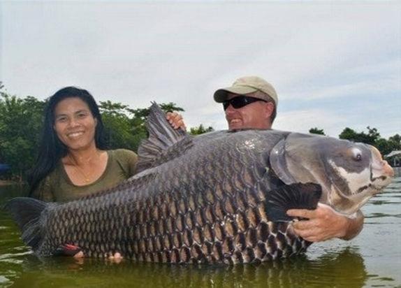 Giant Giant Siam Carp.