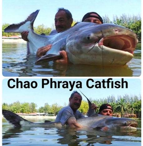 Chao Phraya Catfish / Pla Tepa / Pangasius Sanitwongsei / catch by Thailand-Fishing.