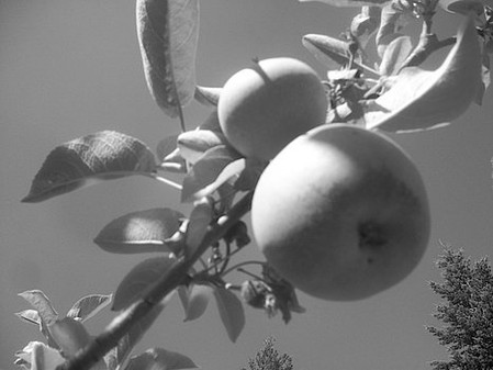 apples-black-and-white-paula-daniels.jpg