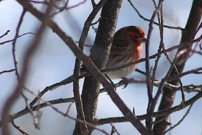tilting-head-red-finch-paula-daniels.jpg