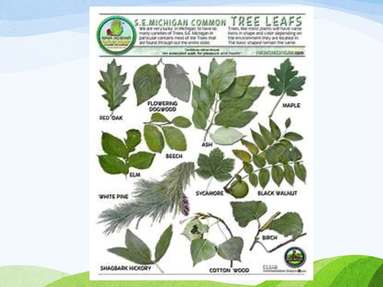 Michigan-Native-Trees-PP-9.jpg