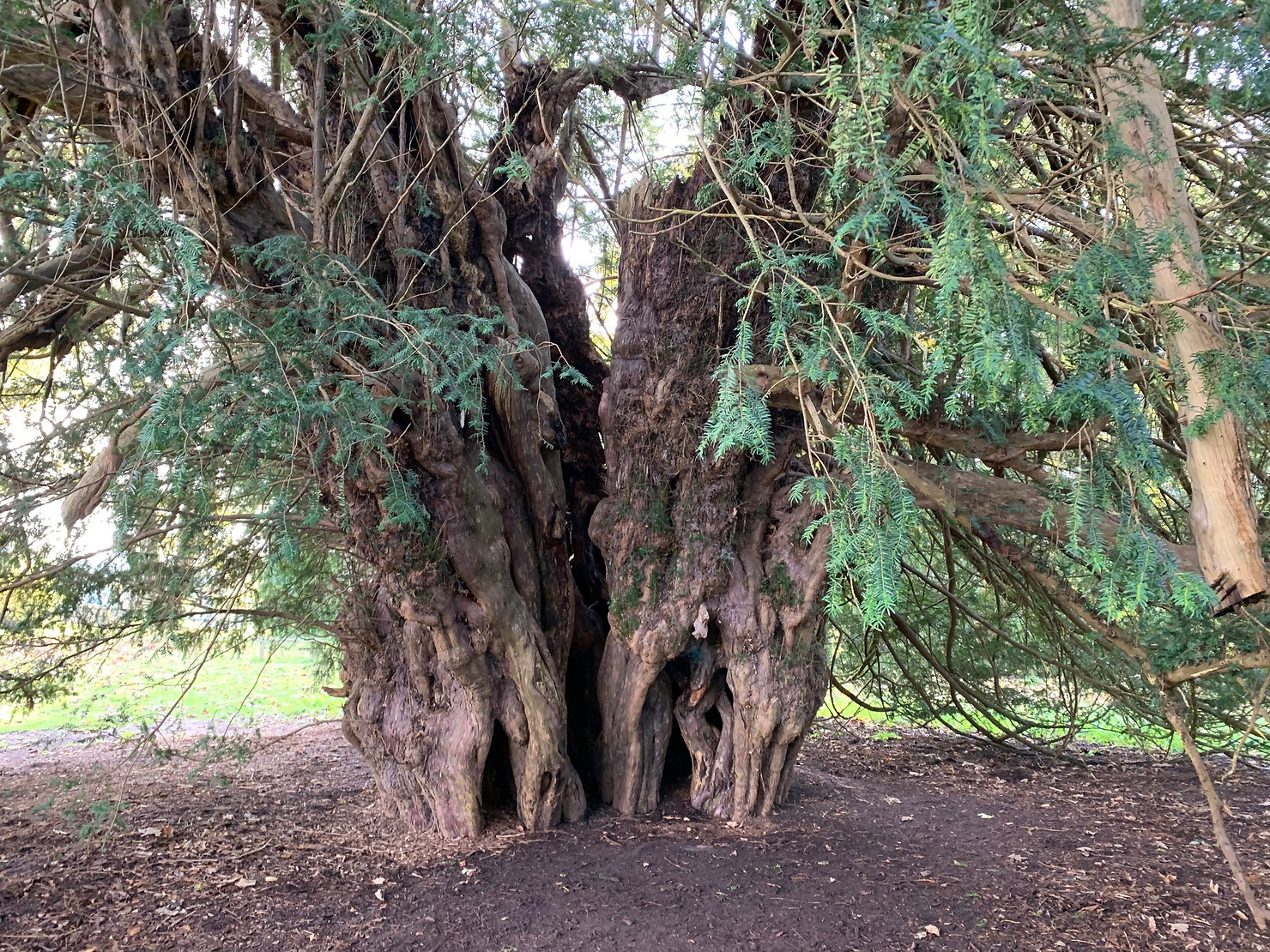The Ankerwycke Yew - The National Trust's Eldest Tree