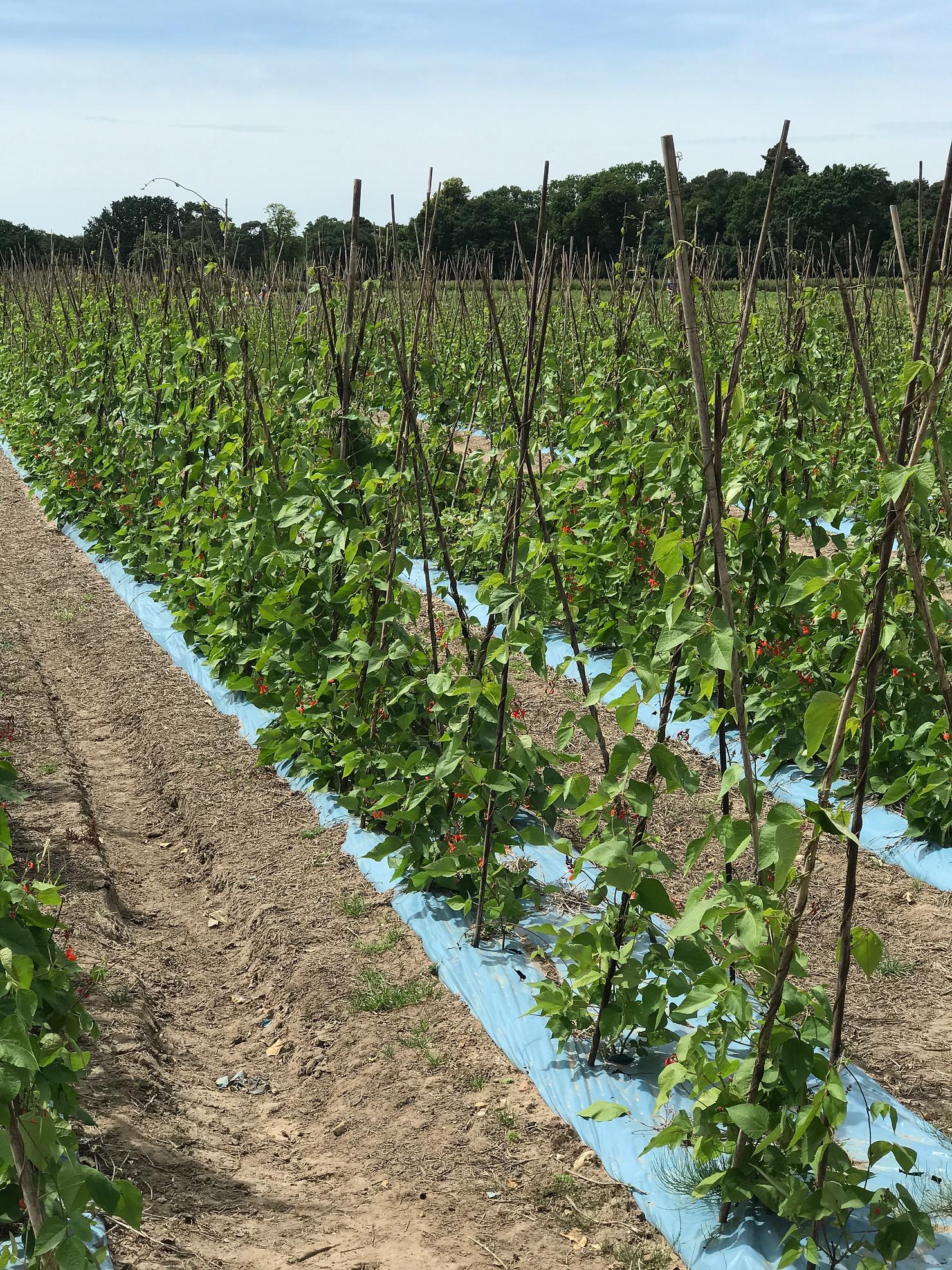 Runner Beans at Grays Farm in Wokingham