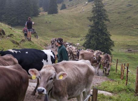 Sommerferien als Kleinhirte auf einer Allgäuer Alpe