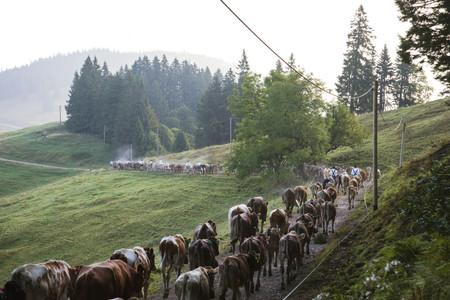 Auf dem Weg ins Tal beim Immenstädter Viehscheid.