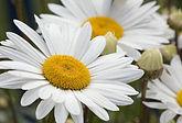 daisy-76191_1280.jpg