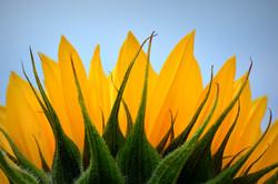 sunflower-402168