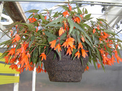 Begonia in 12RD