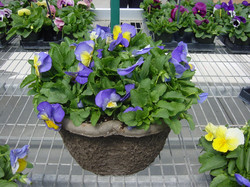 10 Clover Pansy Bowl