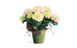 Hydrangea in Fresh Basil