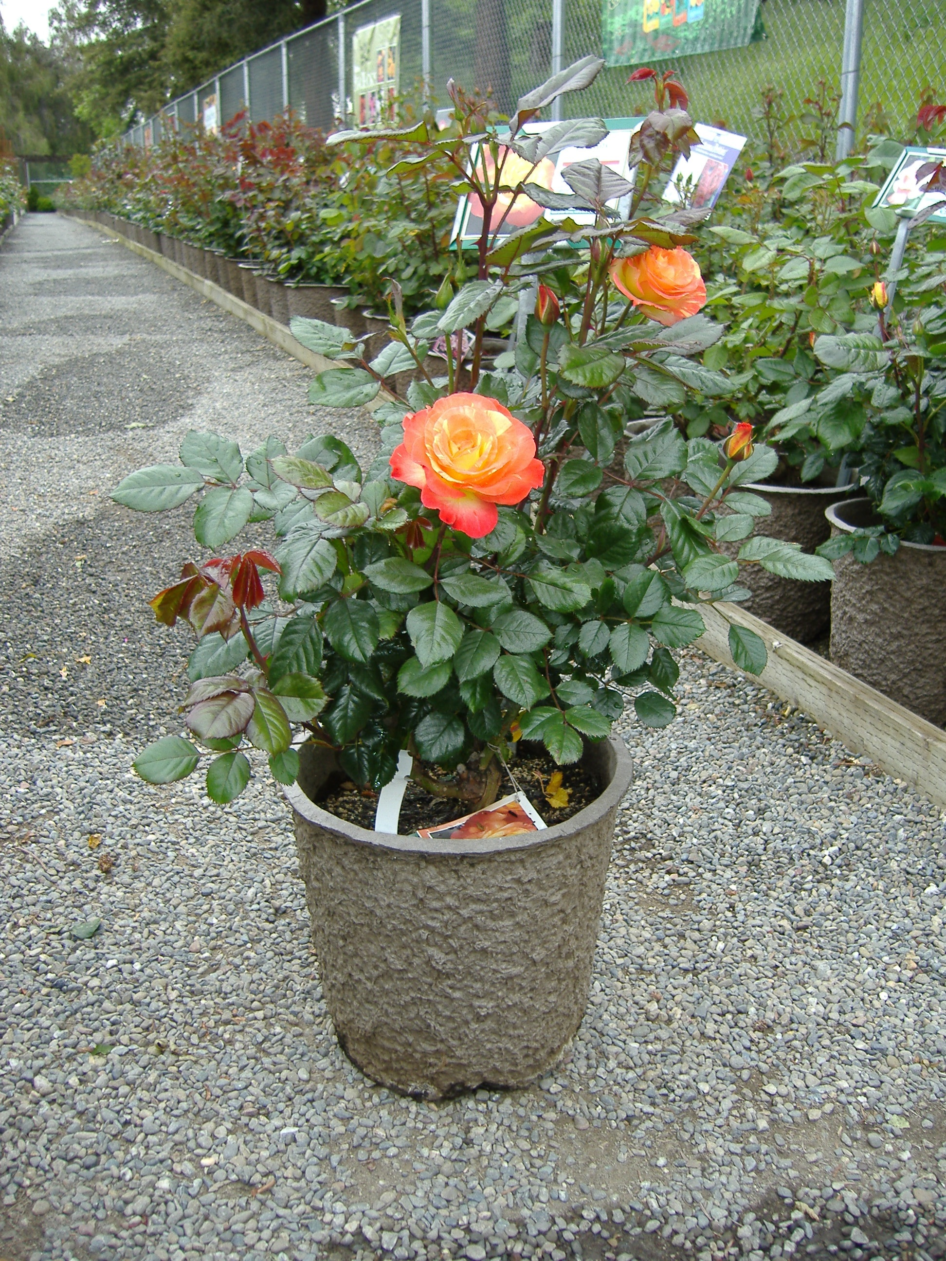 Rose in 12X11 Rose Pot
