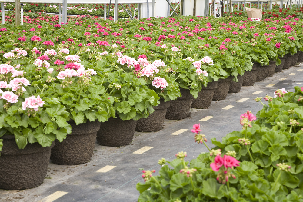 Geraniums in 12 Bell Garden Planter