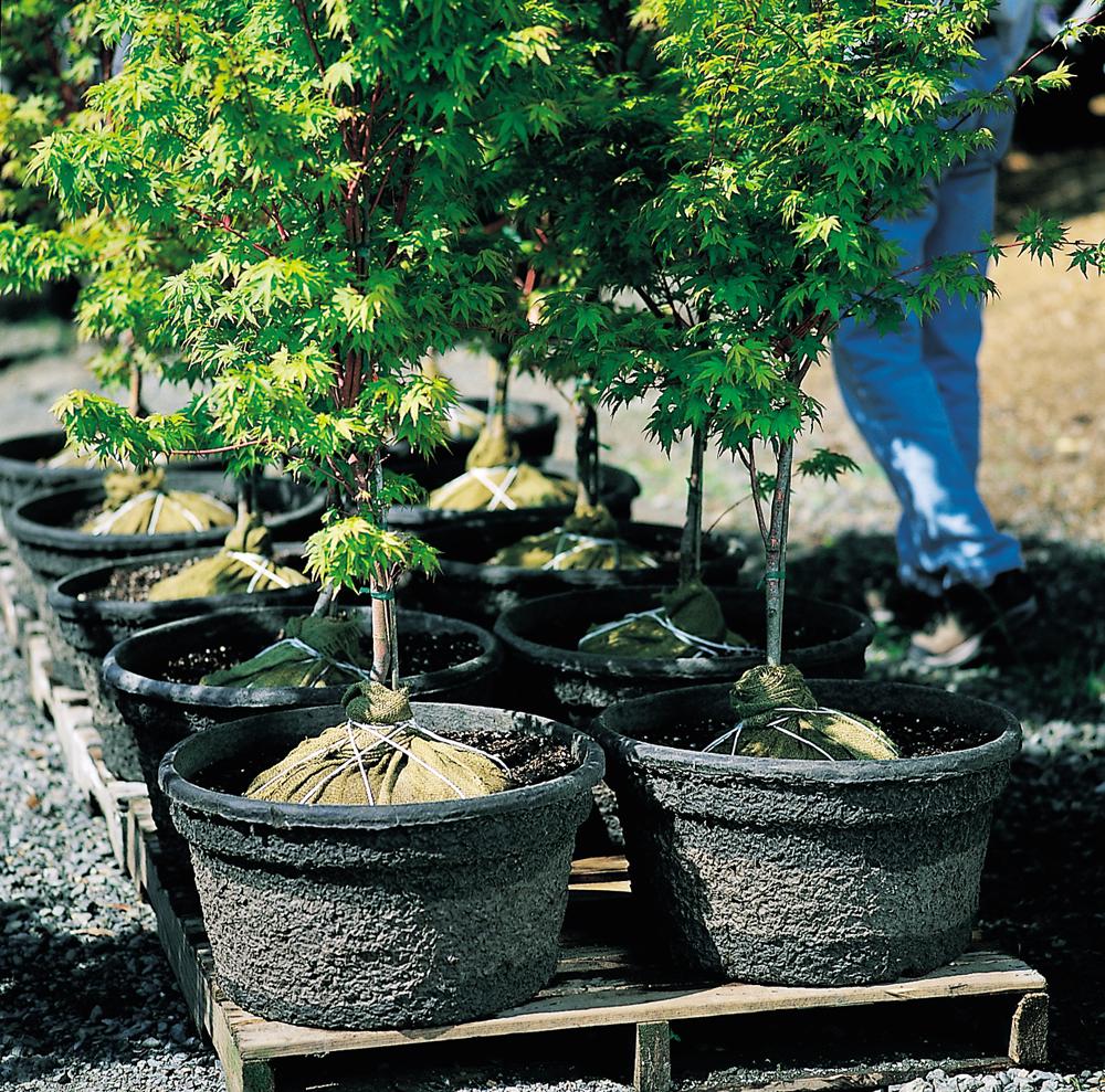 B&B Trees om 18X12 Fiber Pot