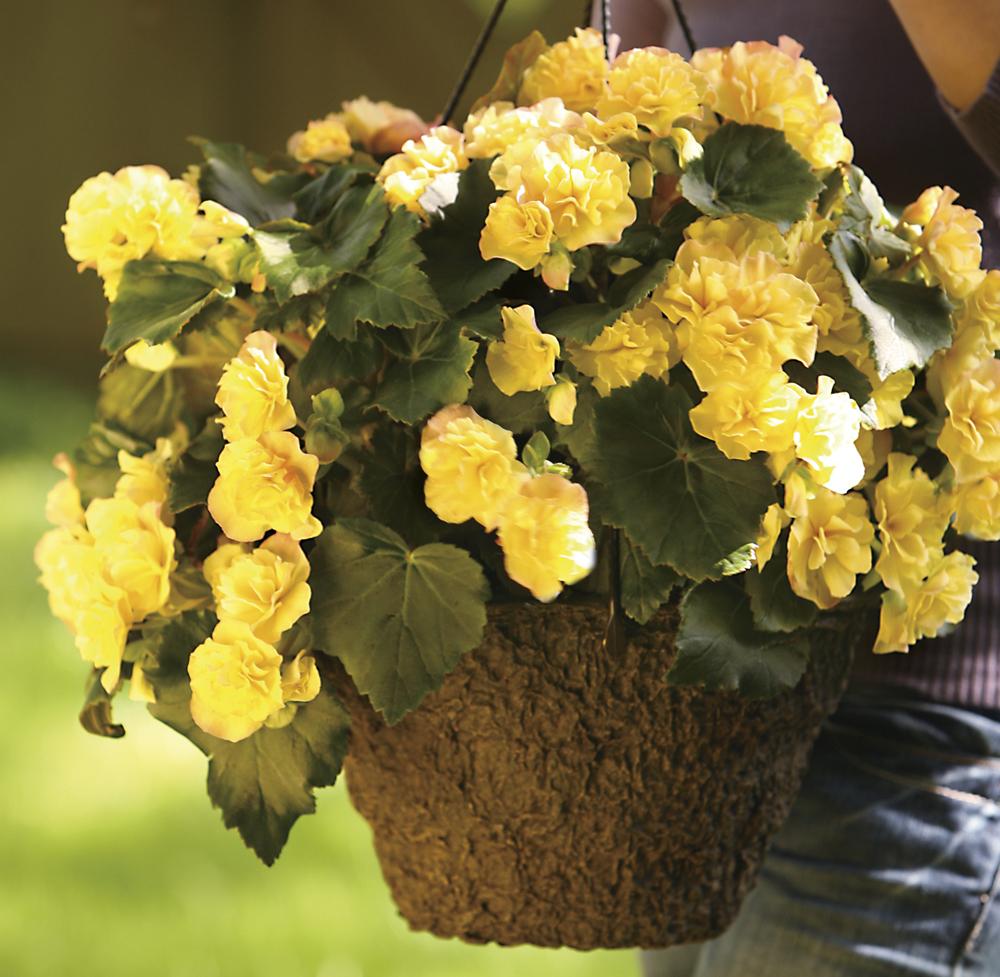 Tuberous Begonia in 12RD Basket