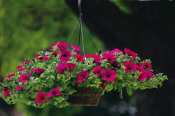 Petunia Basket in 12RD