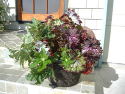 Coleus 12RD Basket