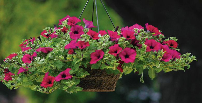 Pentunia Hanging Basket wtd.jpg