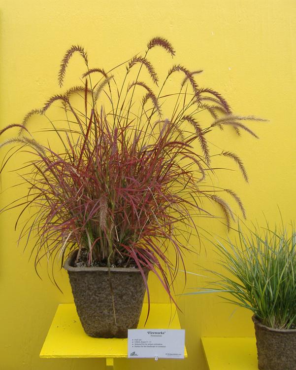 Ornamental Grass in 11X11SQ