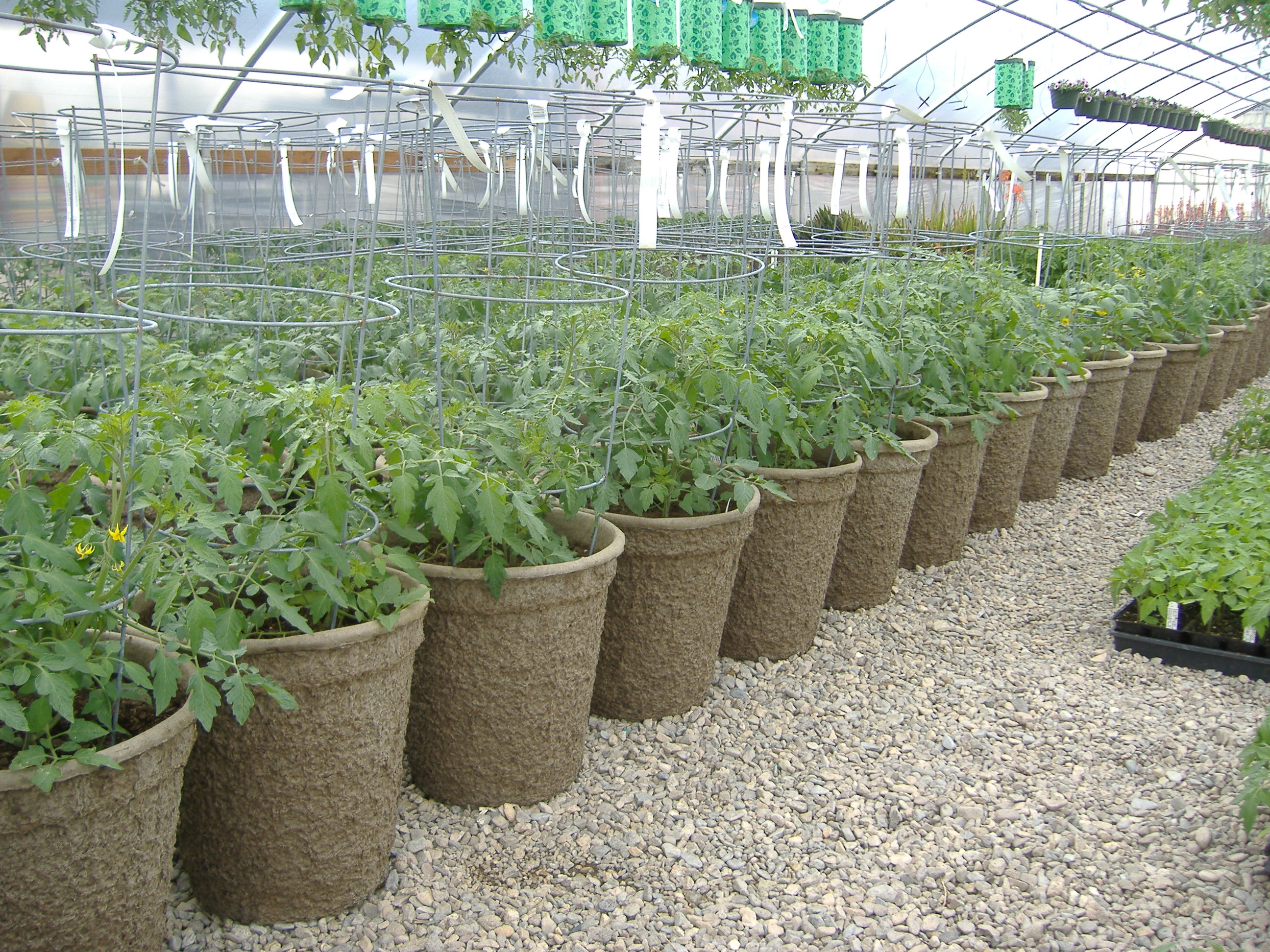 Tomatoes Planted in 15X16 Fiber Pots