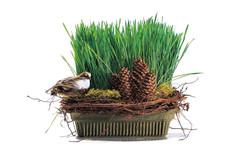 Wheat Grass in Fresh Basil