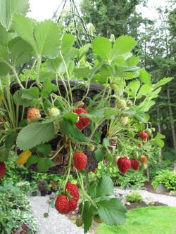 Trailing Strawberry in 12 Cascade