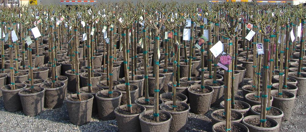 Dormant Tree Roses in 13X12