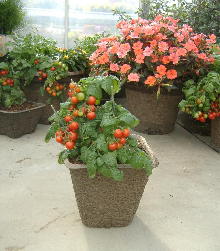 Cherry Tomato in 11X11SQ