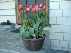 Tulips in 10 Clover