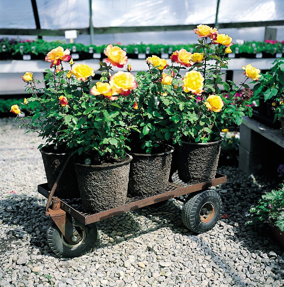 Roses in 12X11 Rose Pots