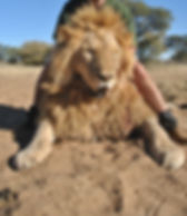 Lion RSA 1_edited.jpg