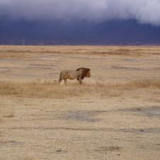 hunting-lions-in-tanzania-safari-njema-8