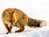 Fox in the Snow - Lenk, Switzerland
