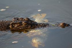 Crocodile & Lunch